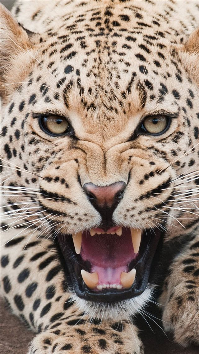 Fierce Shouting Panthera Pardus Macro Face iPhone 8 wallpaper