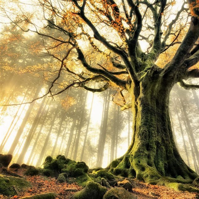 Foggy Forest Mossy Tree iPad wallpaper