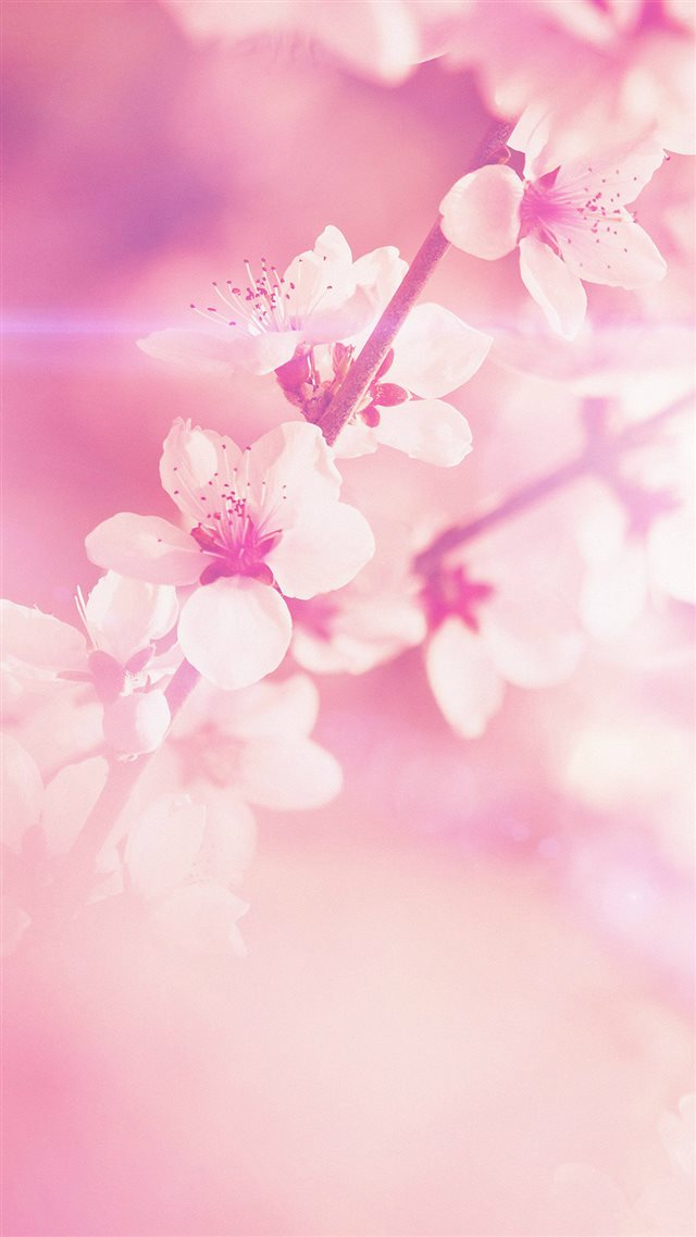 Spring Flower Pink Cherry Blossom Flare Nature iPhone 8 wallpaper