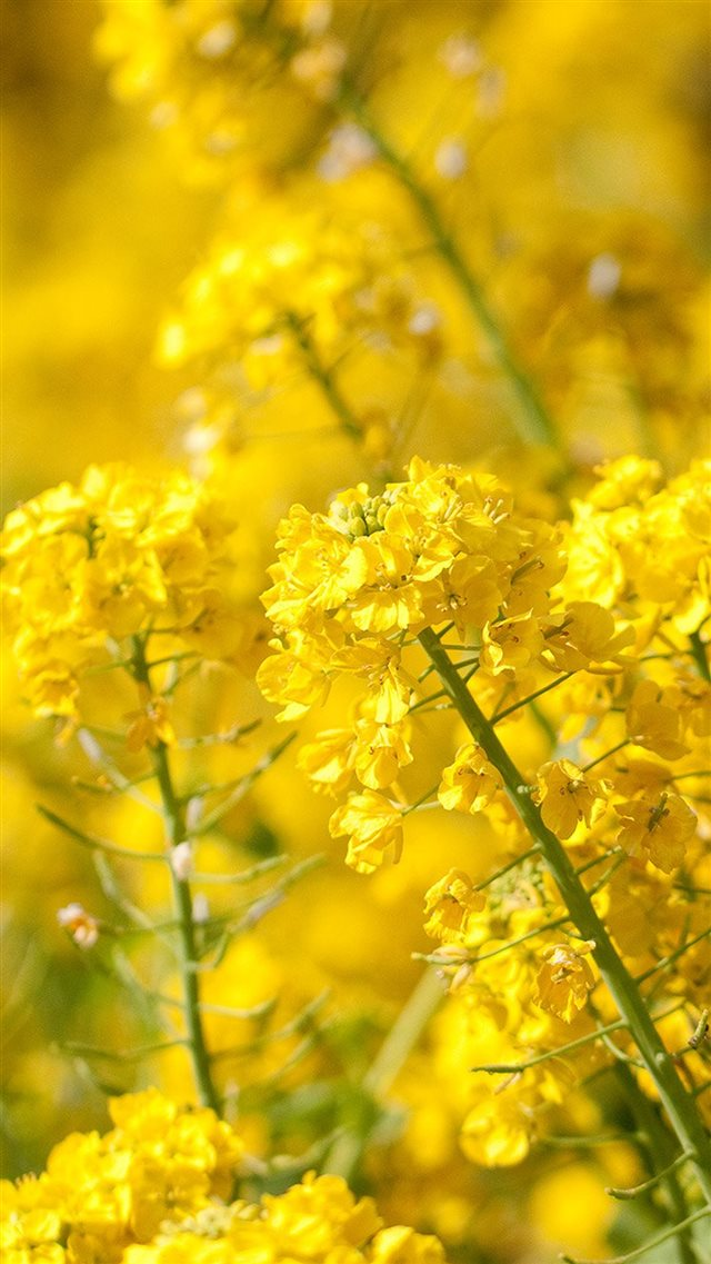 Nature Spring Yellow Cole Flowers Iphone 8 Wallpaper Download