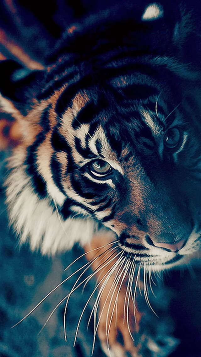 Bengal Tiger Closeup iPhone 8 wallpaper