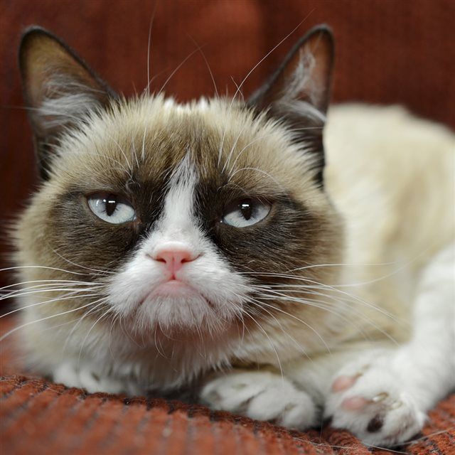 Grumpy Cat Close Up Ipad Wallpaper Download Iphone Wallpapers