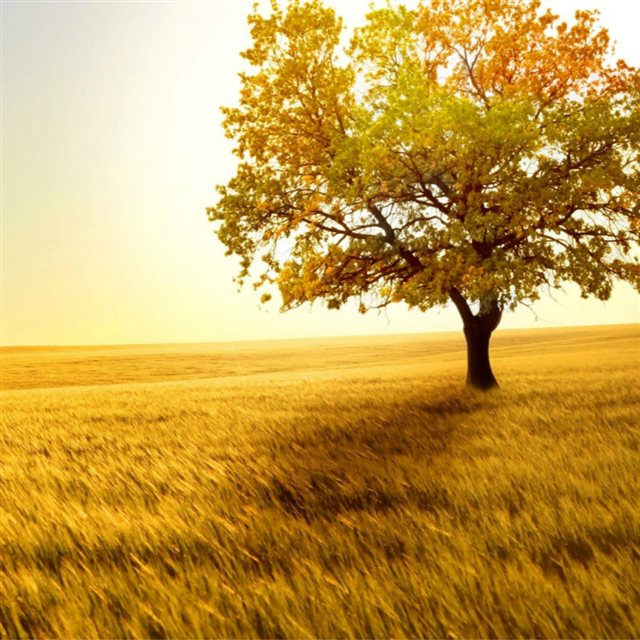 Nature Golden Sunset Lonely Tree Grass Field iPad wallpaper
