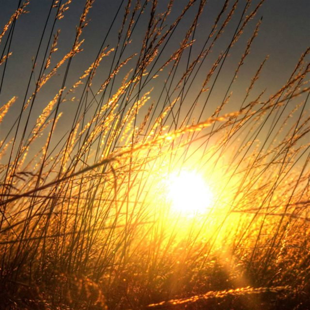 Golden Sunset Sunlight Through Wheat Fiedl iPad wallpaper