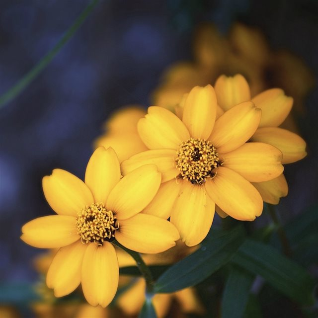 Beautiful Yellow Flower iPad wallpaper