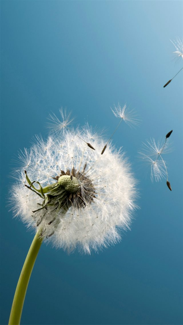 Pure Aesthetic Dandelion Blowing Blue Sky Macro iPhone 8 wallpaper