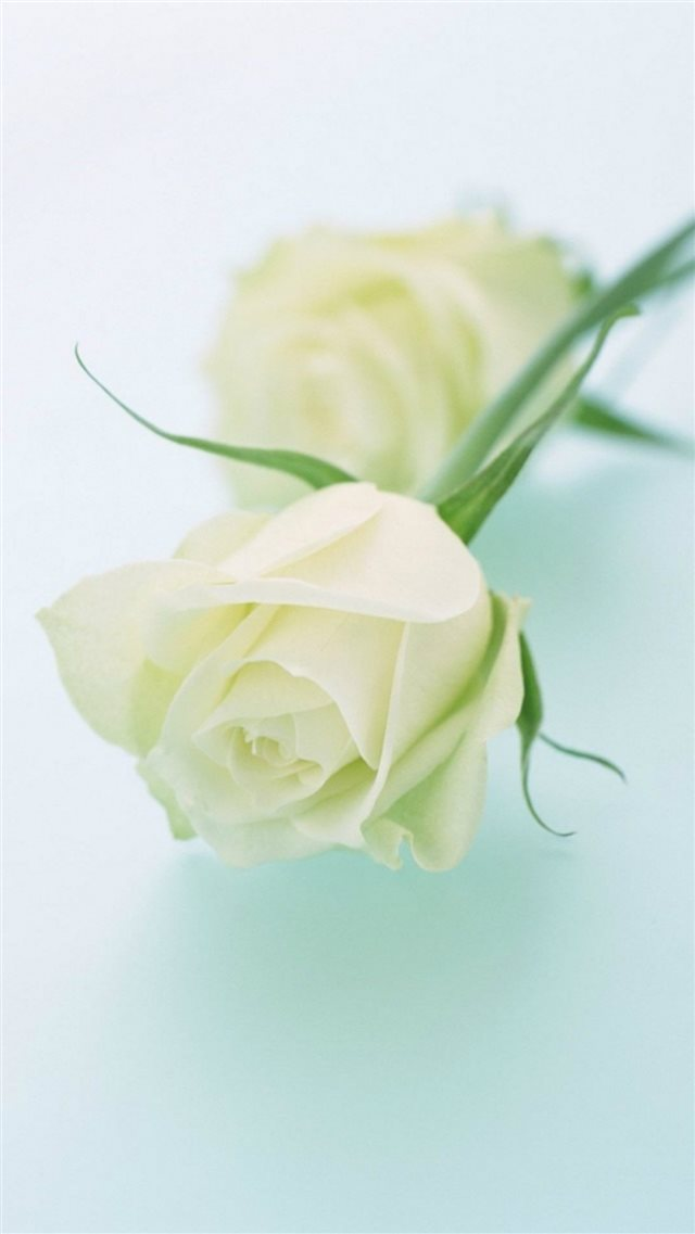 Pure Elegant White Rose Plant Branch iPhone 8 wallpaper