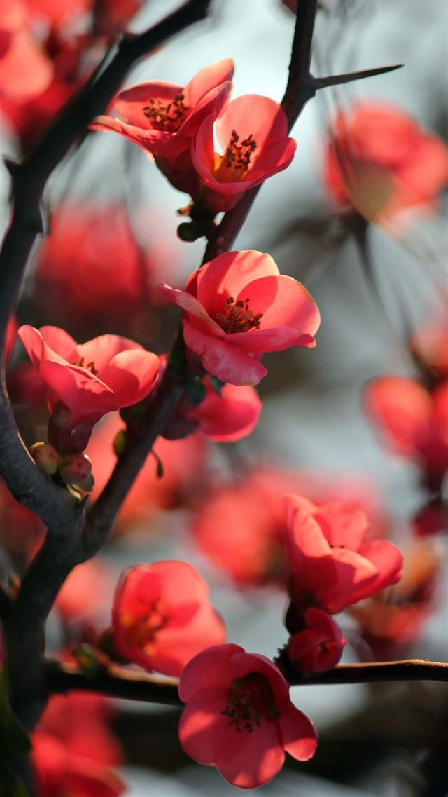 Red Cherry Tree Flowers iPhone 8 wallpaper