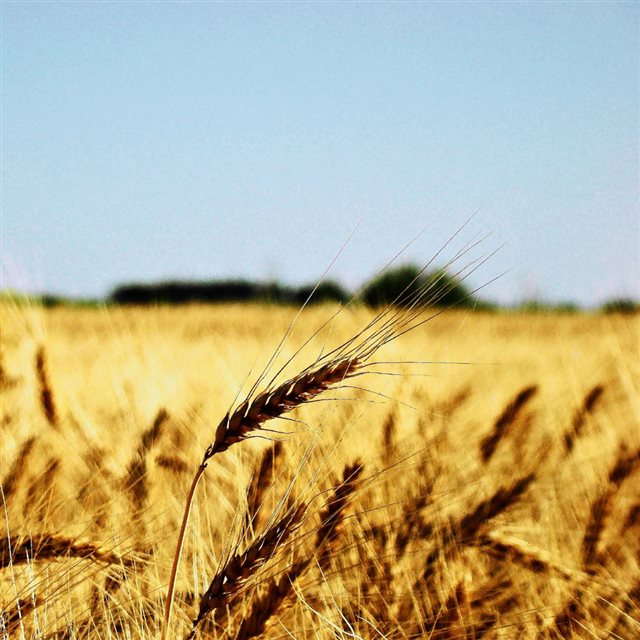 Nature Wheat Field Bright Vast Landscape iPad wallpaper