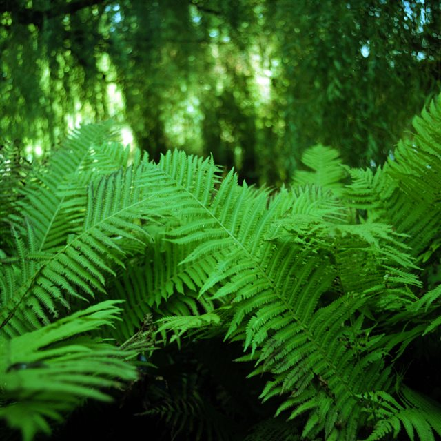 Natural Green Vitality Fern Leaves Branch iPad wallpaper
