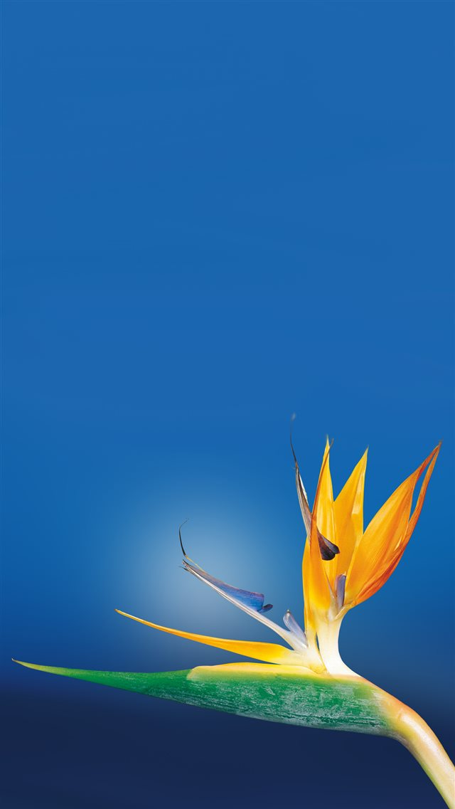 Bird Of Paradise Flower Close Up iPhone 8 wallpaper