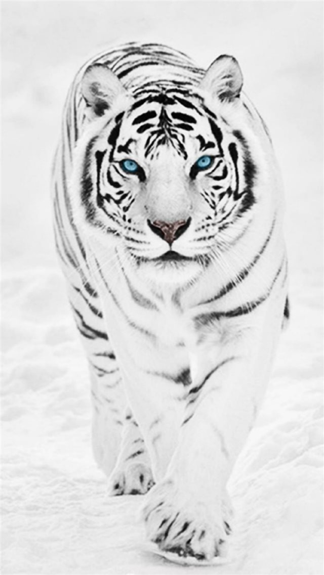 White Wild Tiger Animal Retina iPhone 8 wallpaper