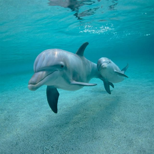 Dolphins Swimming Underwater iPad wallpaper