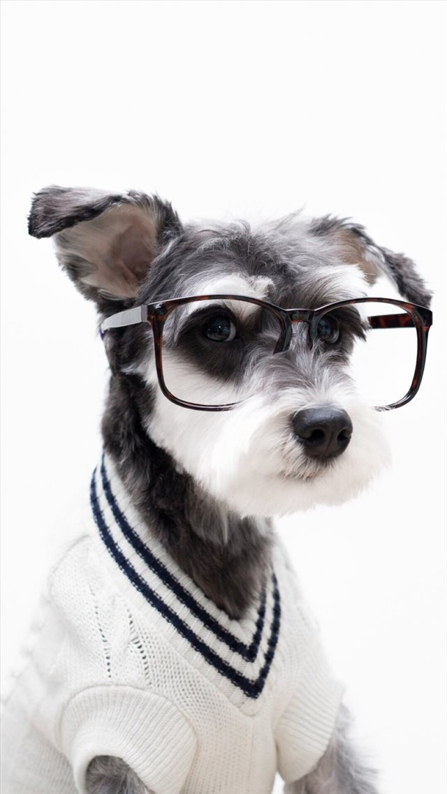 Schnauzer Cute Pet Lovely Puppy Dog iPhone 8 wallpaper
