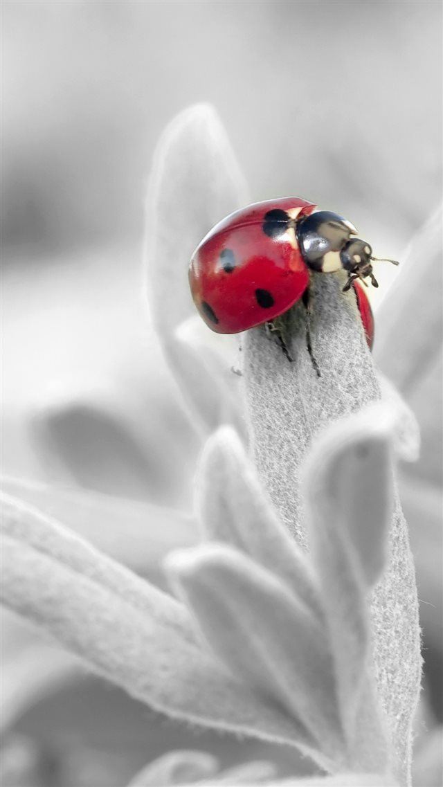 Ladybug Insect Flower Petals iPhone 8 wallpaper