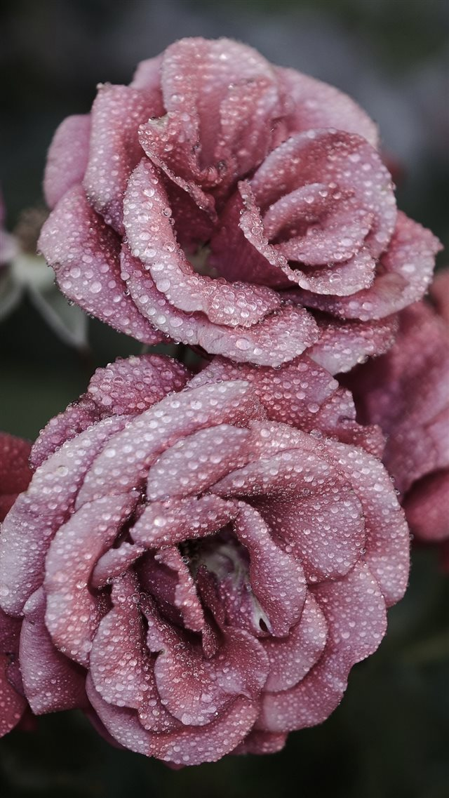 Roses Petals Drops Frost iPhone 8 wallpaper