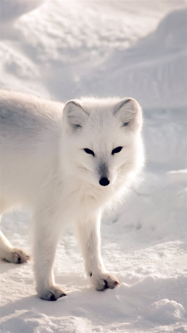 White Artic Fox Snow Winter Animal iPhone 8 wallpaper