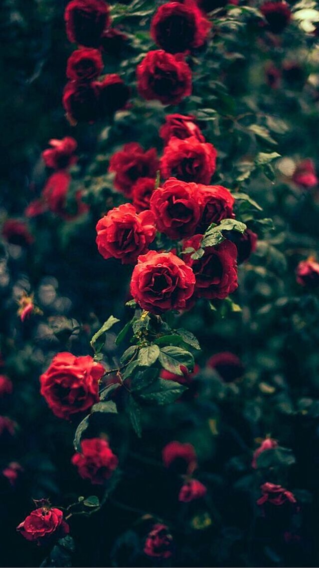 Beautiful Garden Red Roses Flowers iPhone 8 wallpaper