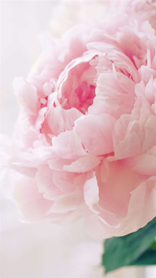 Nature Spring Bloomy Peony Macro iPhone 8 wallpaper