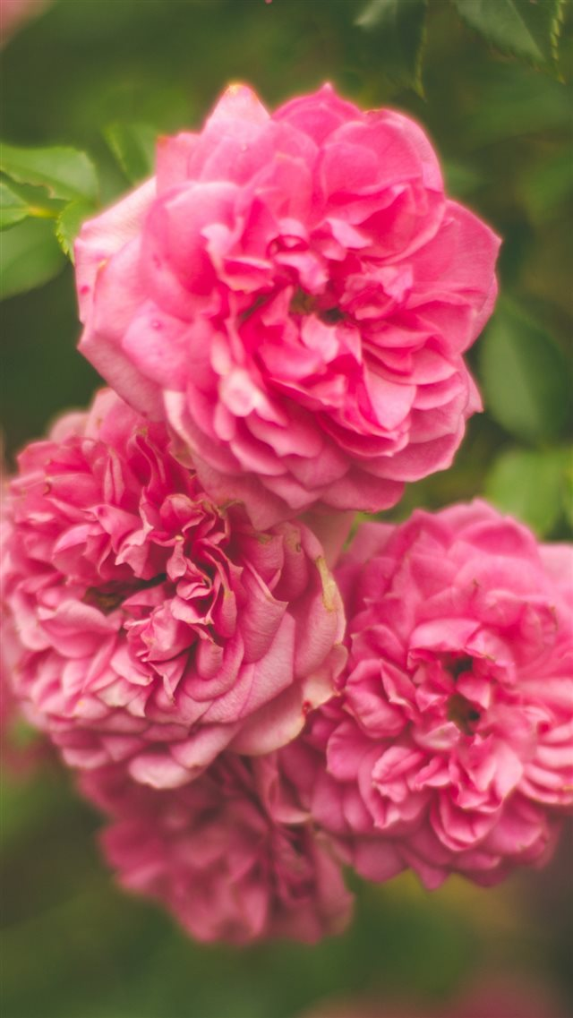 Rose Pink Flower Bush iPhone 8 wallpaper