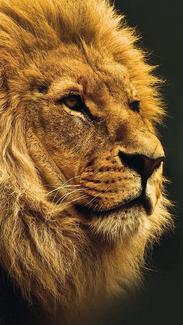 National Geographic Nature Animal Lion Yellow iPhone 8 wallpaper