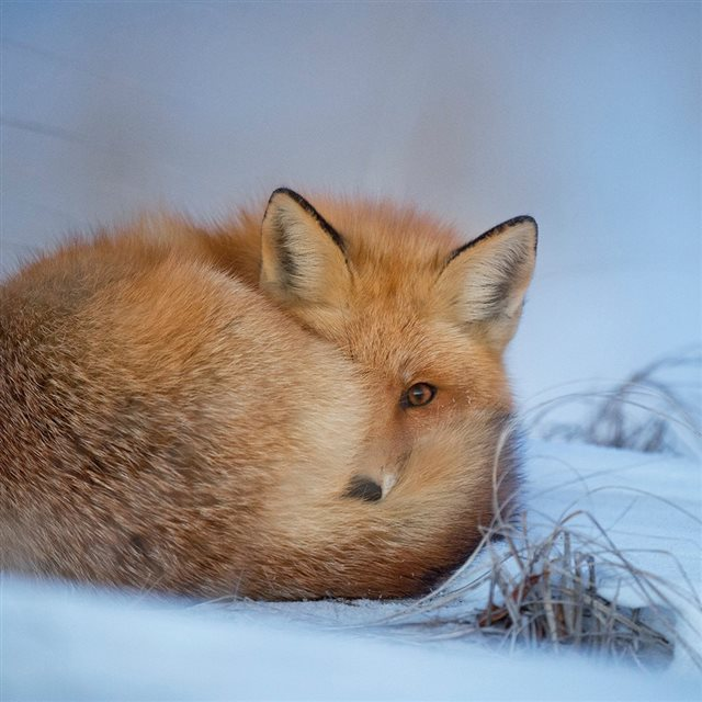 Fox Cold Winter Red Nature iPad wallpaper
