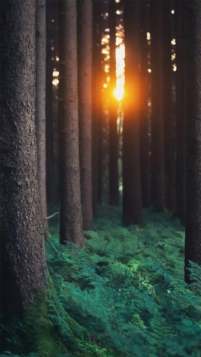 Morning Sunlight Through Forest Trees  iPhone 8 wallpaper
