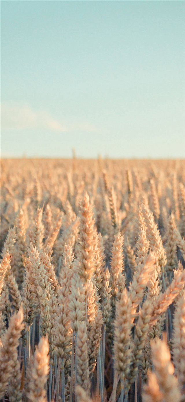 Nature Rye Field Farmland iPhone X wallpaper