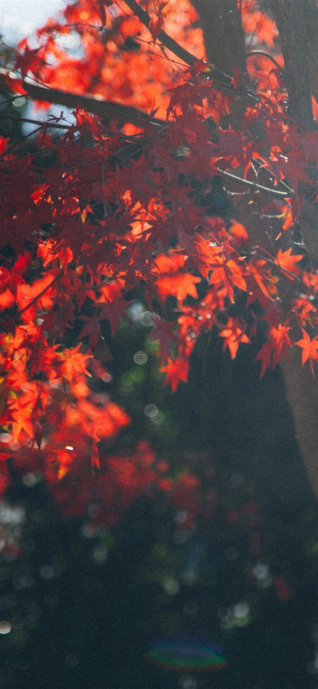 Fall Tree Autumn Nature iPhone X wallpaper