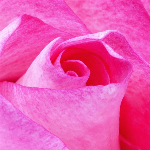 Flower Red Pink Rose Love Nature Ipad Pro Wallpapers Free