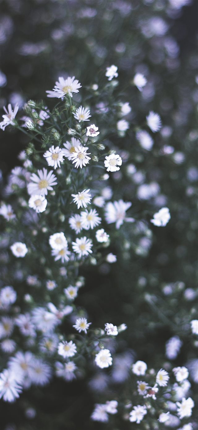 Daisy Iphone X Wallpapers Free Download