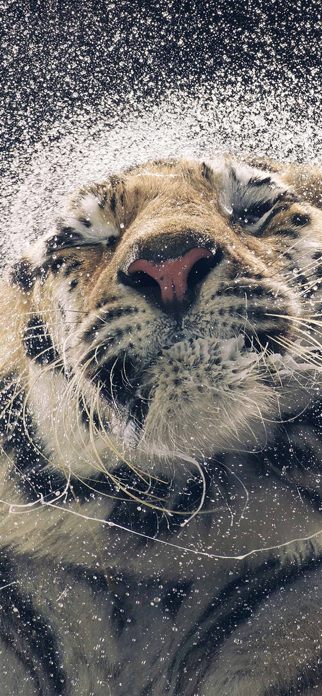 Shaking tiger water iPhone 11 wallpaper