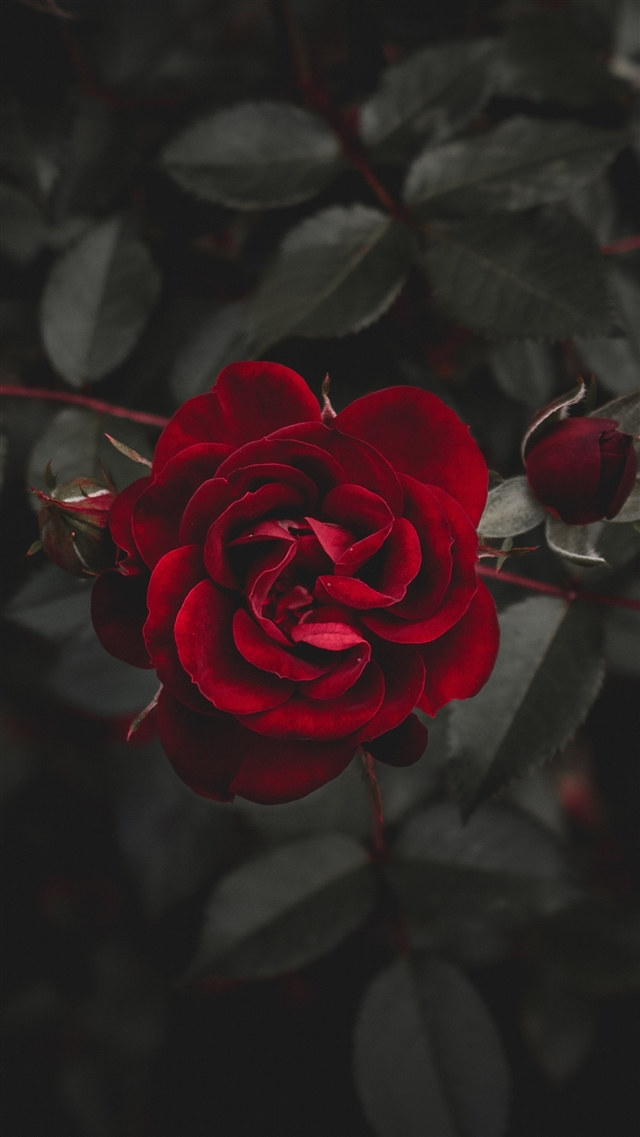 Rose red flower bud iPhone 8 wallpaper