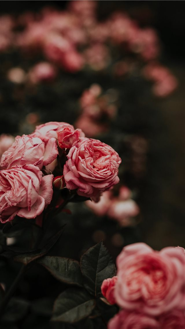 Worlds Best Rose iPhone 8 wallpaper