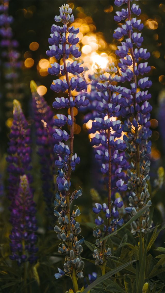 lupine at the sunset bokeh summer iPhone 8 wallpaper