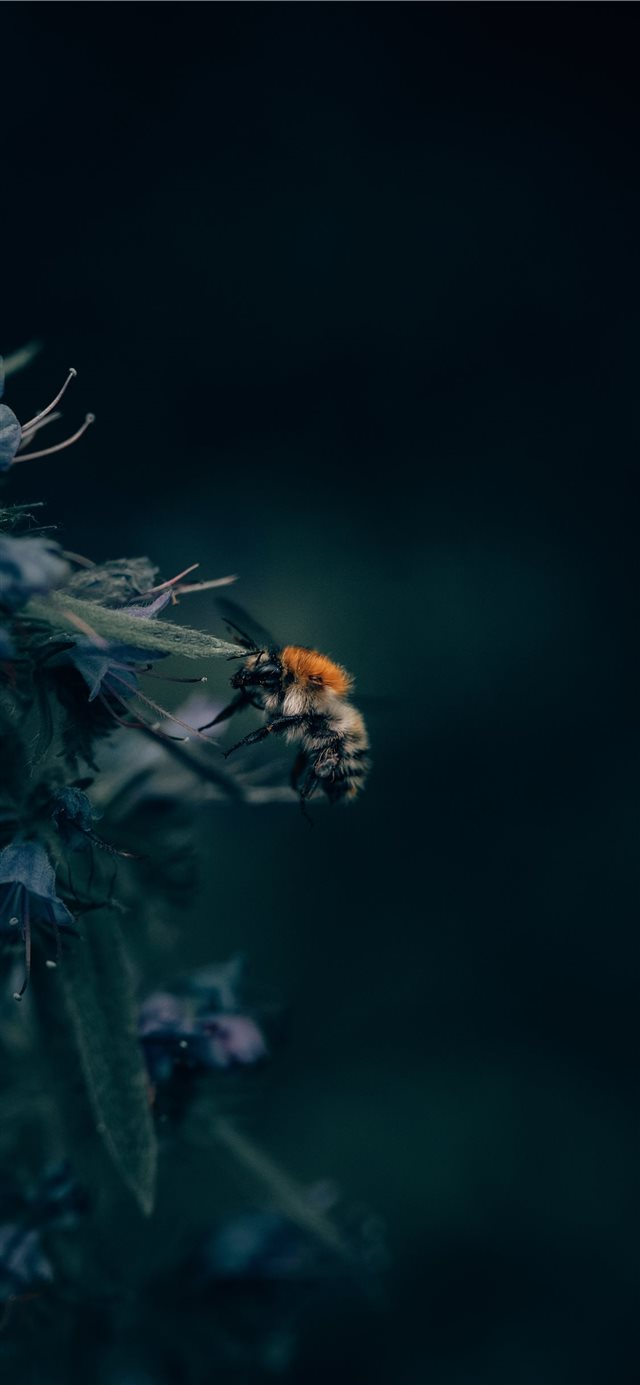 A Bumblebee Unlocks a Flower's Hidden Treasure iPhone 11 wallpaper
