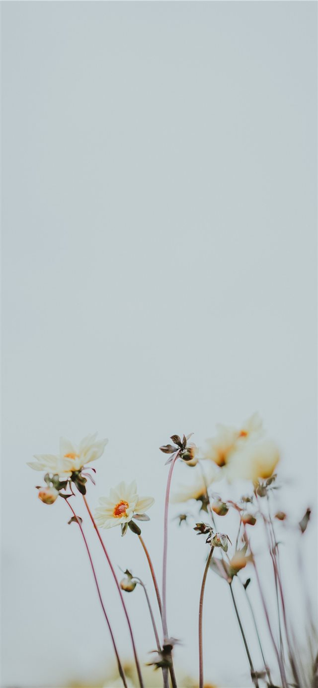 Pale lemon flowers with blank space iPhone X wallpaper