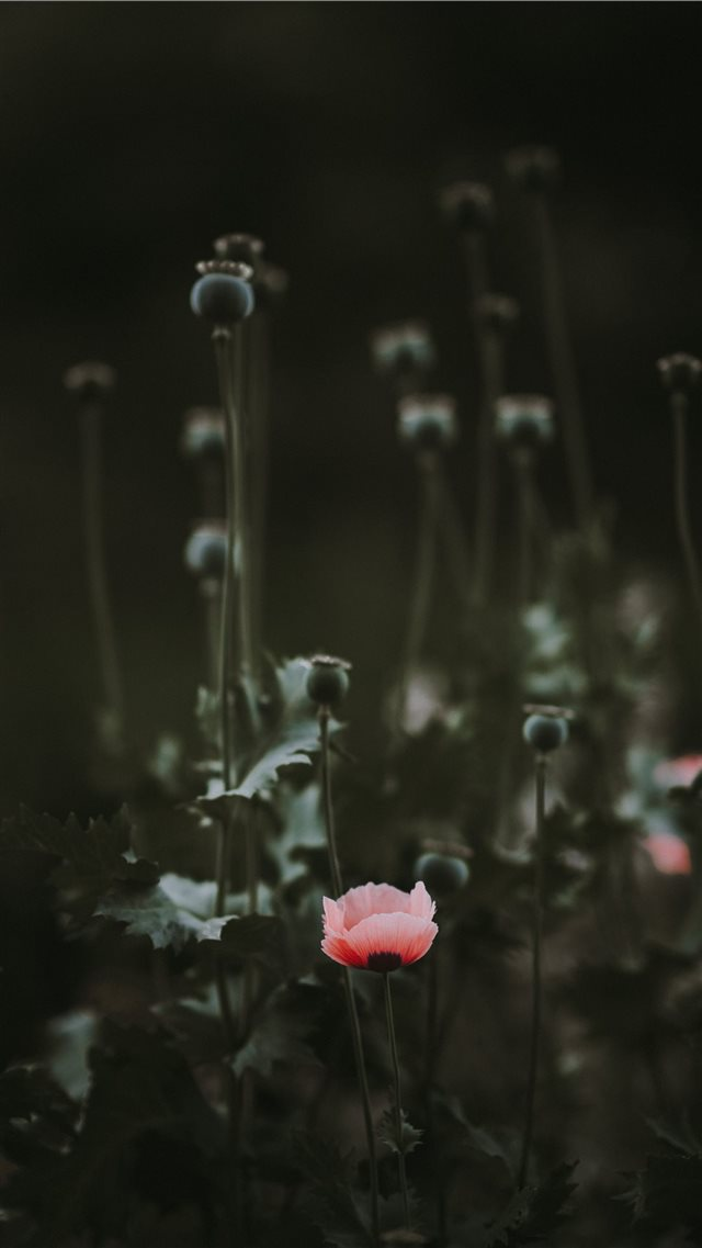 Pink Poppy with blank space iPhone SE wallpaper