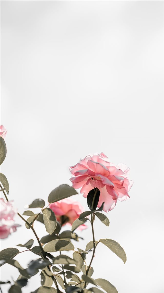 Pink roses with blank space  light iPhone 8 wallpaper