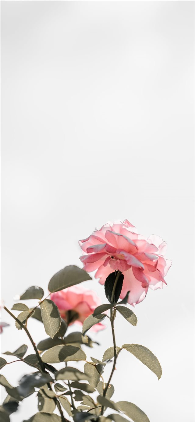 Pink roses with blank space  light iPhone X wallpaper