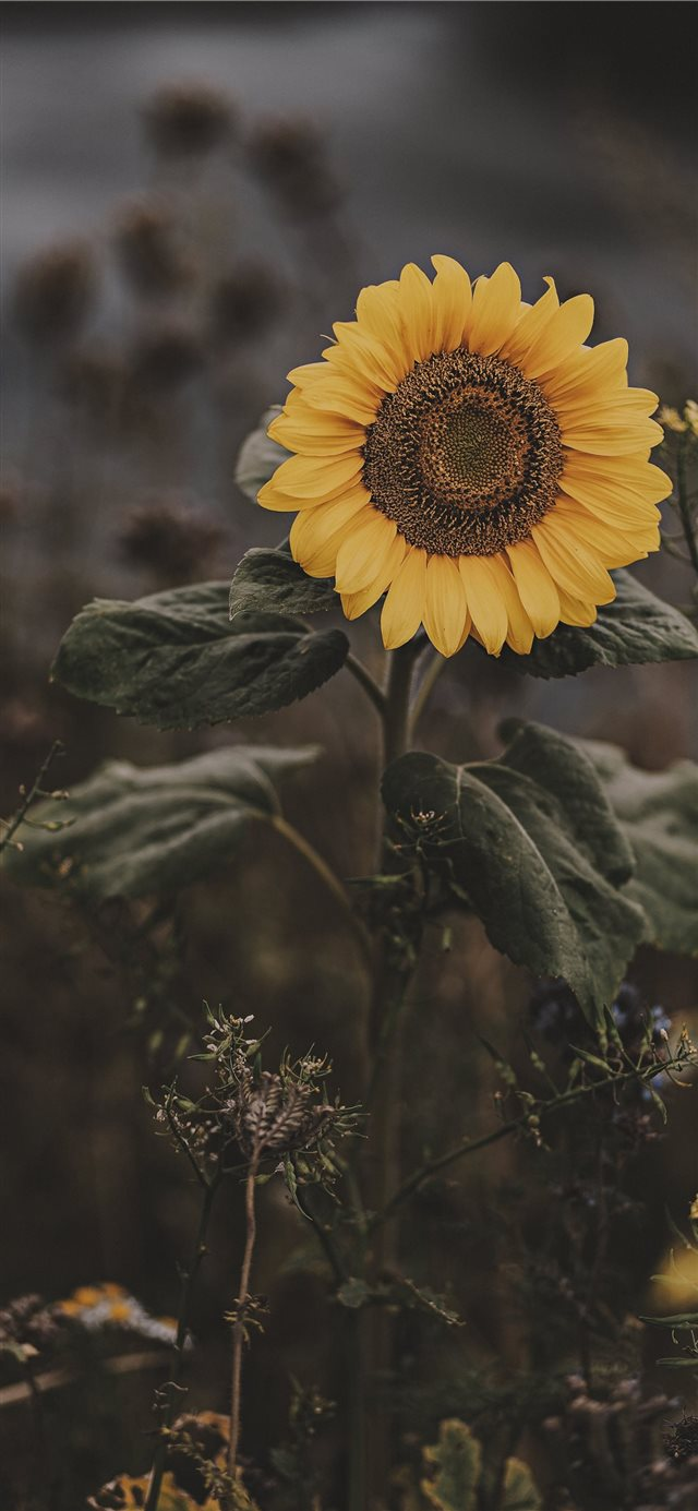Sunflowers iphone s for parallax wallpapers hd desktop