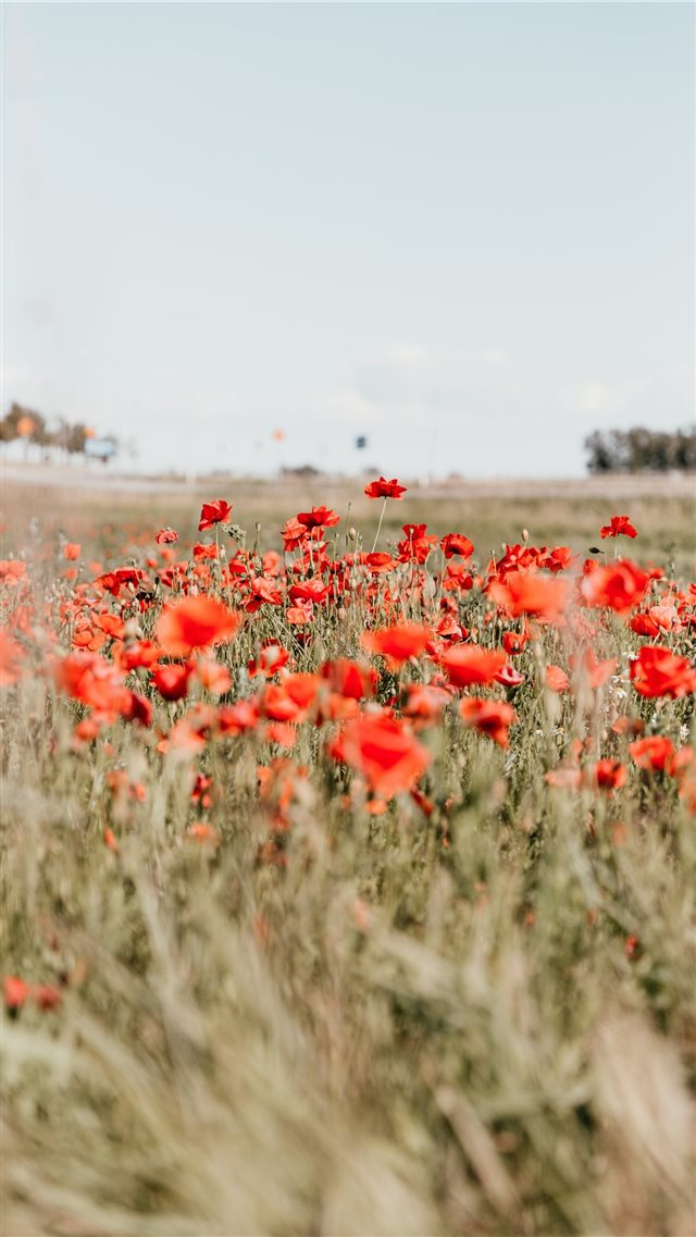 Through The Poppy Field iPhone 8 wallpaper
