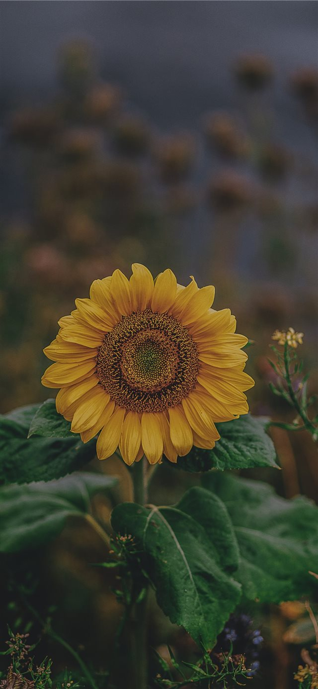 sunflower iPhone 11 wallpaper