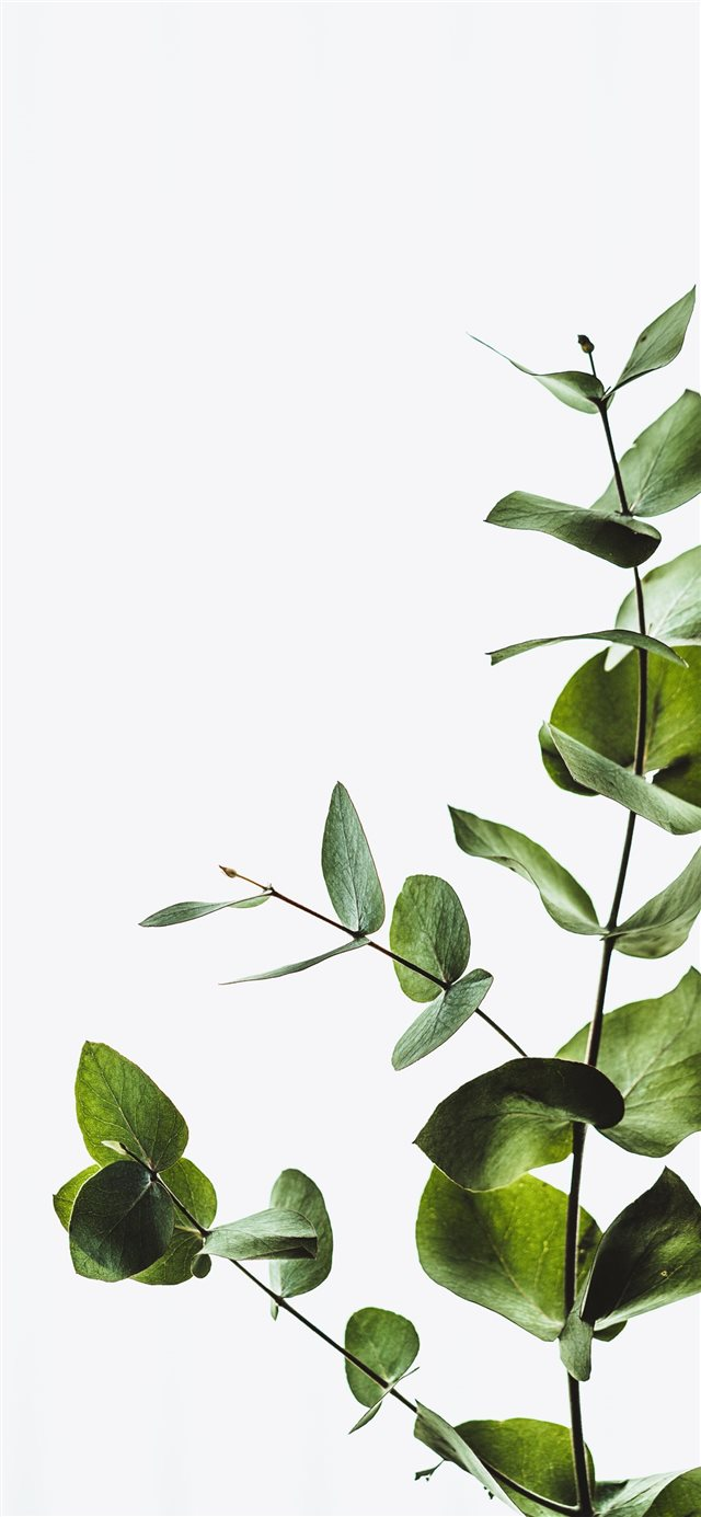 Minimal eucalyptus leaves iPhone X wallpaper