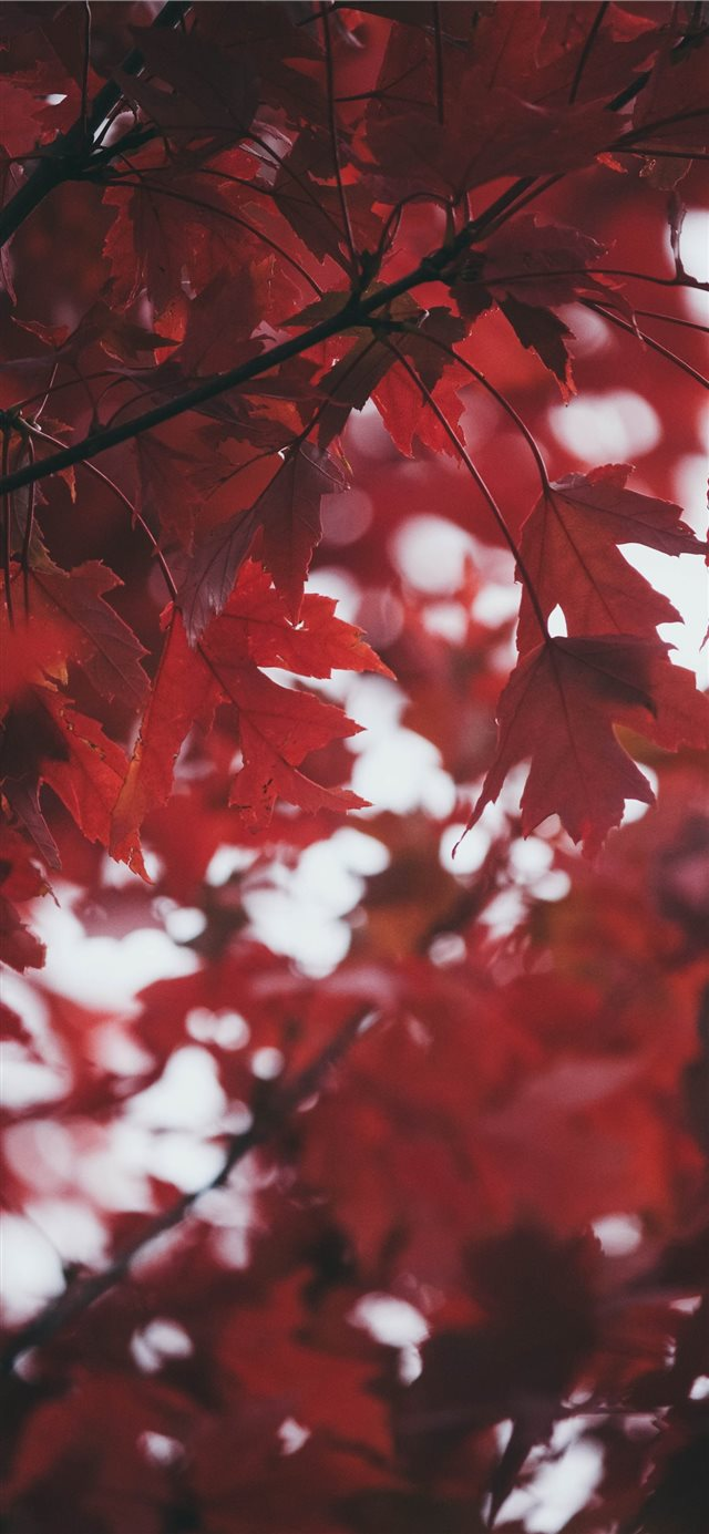 Deep Red Leaves iPhone 11 wallpaper