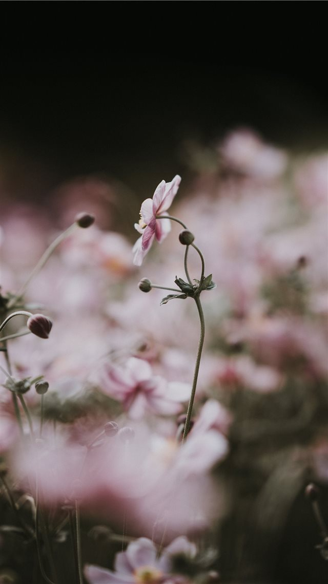 Pale pink anemone florals iPhone 8 wallpaper