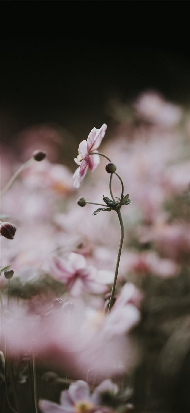Pale pink anemone florals iPhone X wallpaper