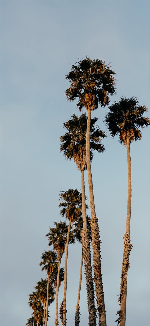 Palms from Santa Cruz iPhone X wallpaper