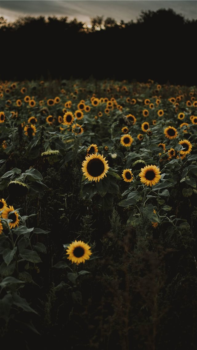 The road to freedom is bordered with sunflowers  iPhone 8 wallpaper