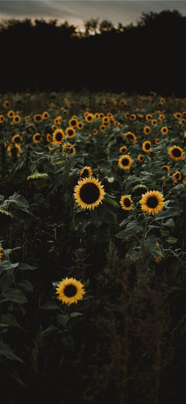 The road to freedom is bordered with sunflowers  iPhone 11 wallpaper